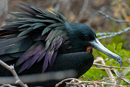 Praktfregattfågel (Fregata magnificens)