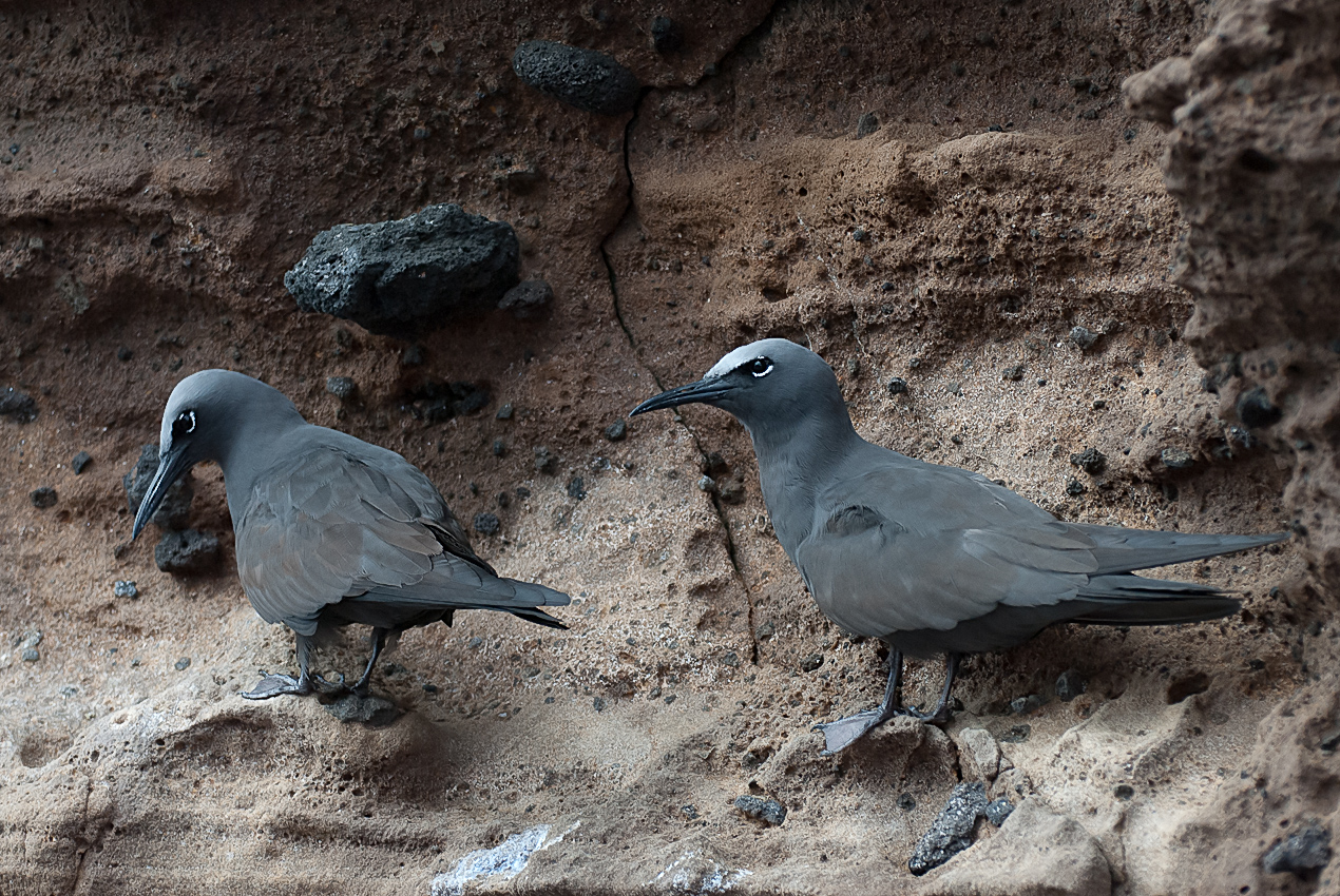 Brown noddy (Anous stolidus galapagensis)
