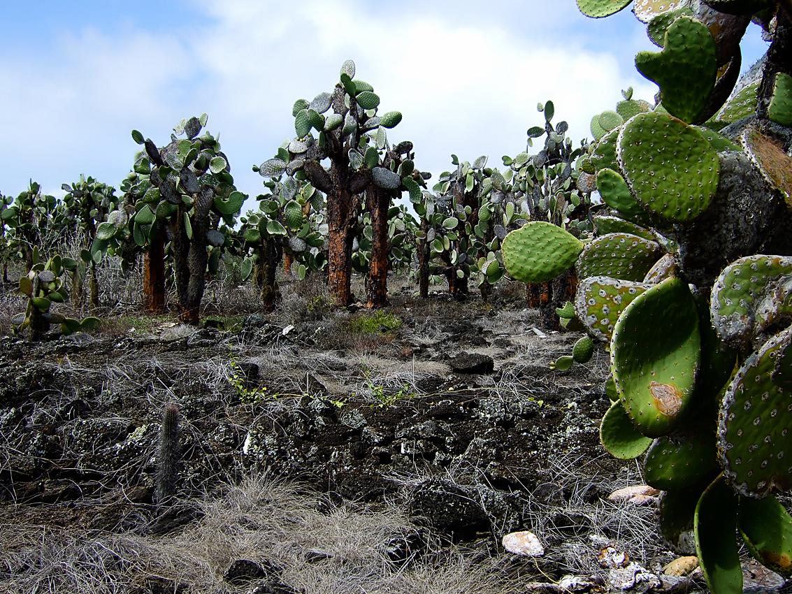 Giant prickly pear cactus (Opuntia echios gigantea)