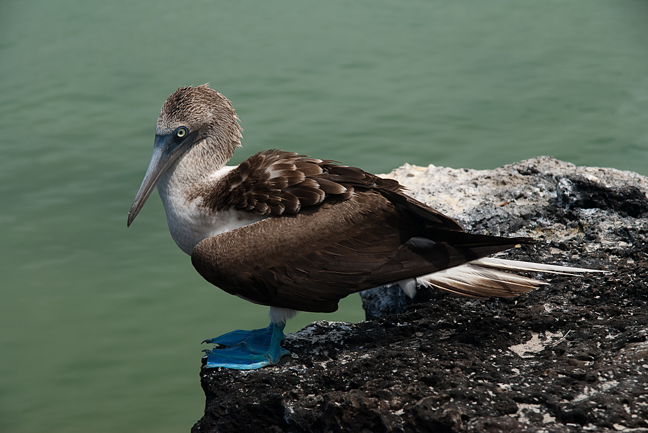 Blue-footed booby (Sula nebouxii excisa)