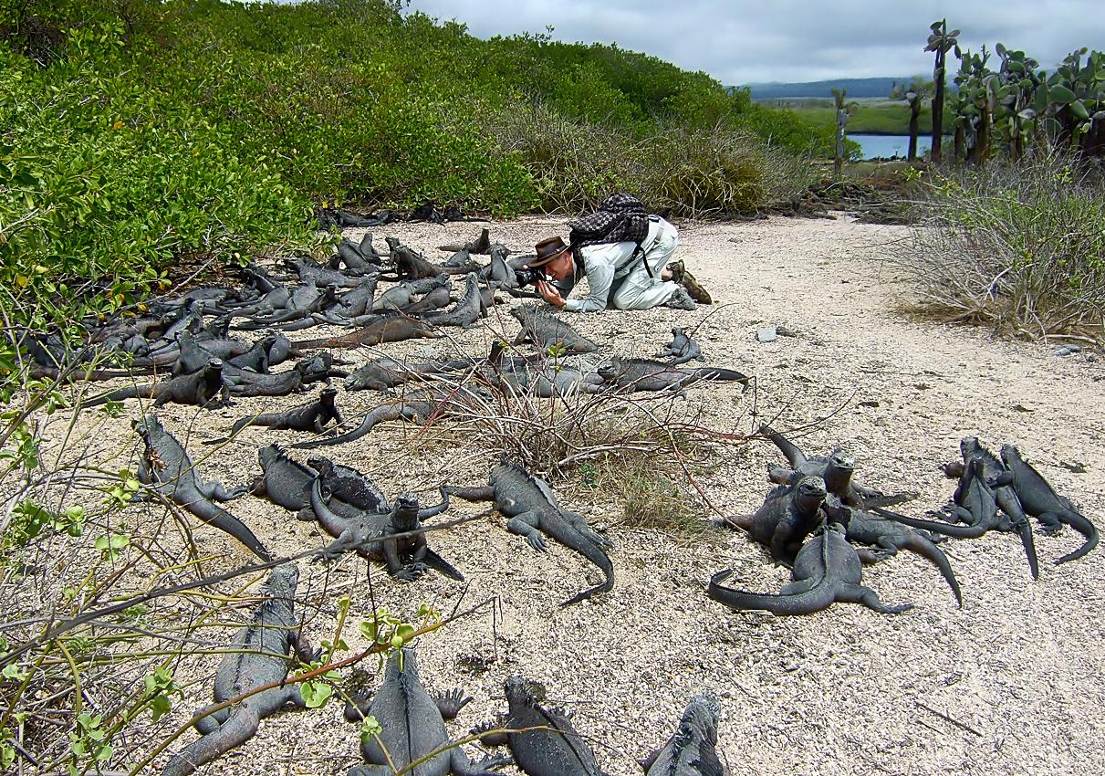Marine iguanas basking in the sunshine
