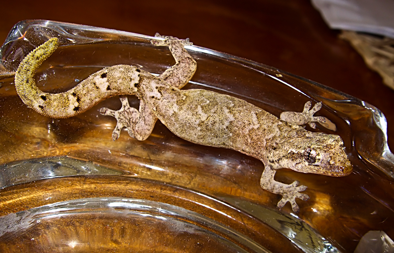 A Galapagos Leaf-toed Gecko (Phyllodactylus galapagoensis) fell down from the roof
