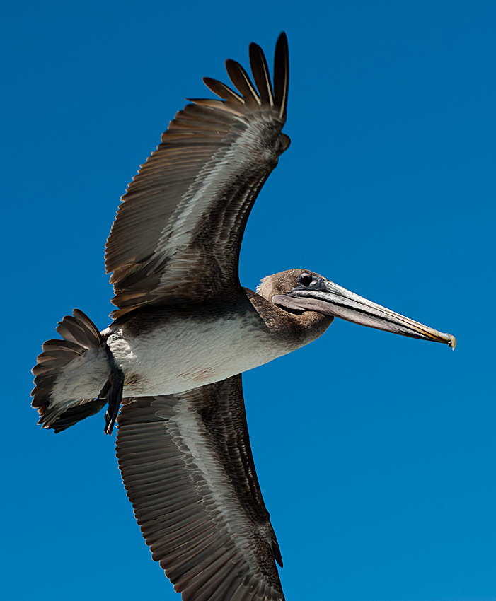 Brown pelican (Pelecanus occidentalis urinator)