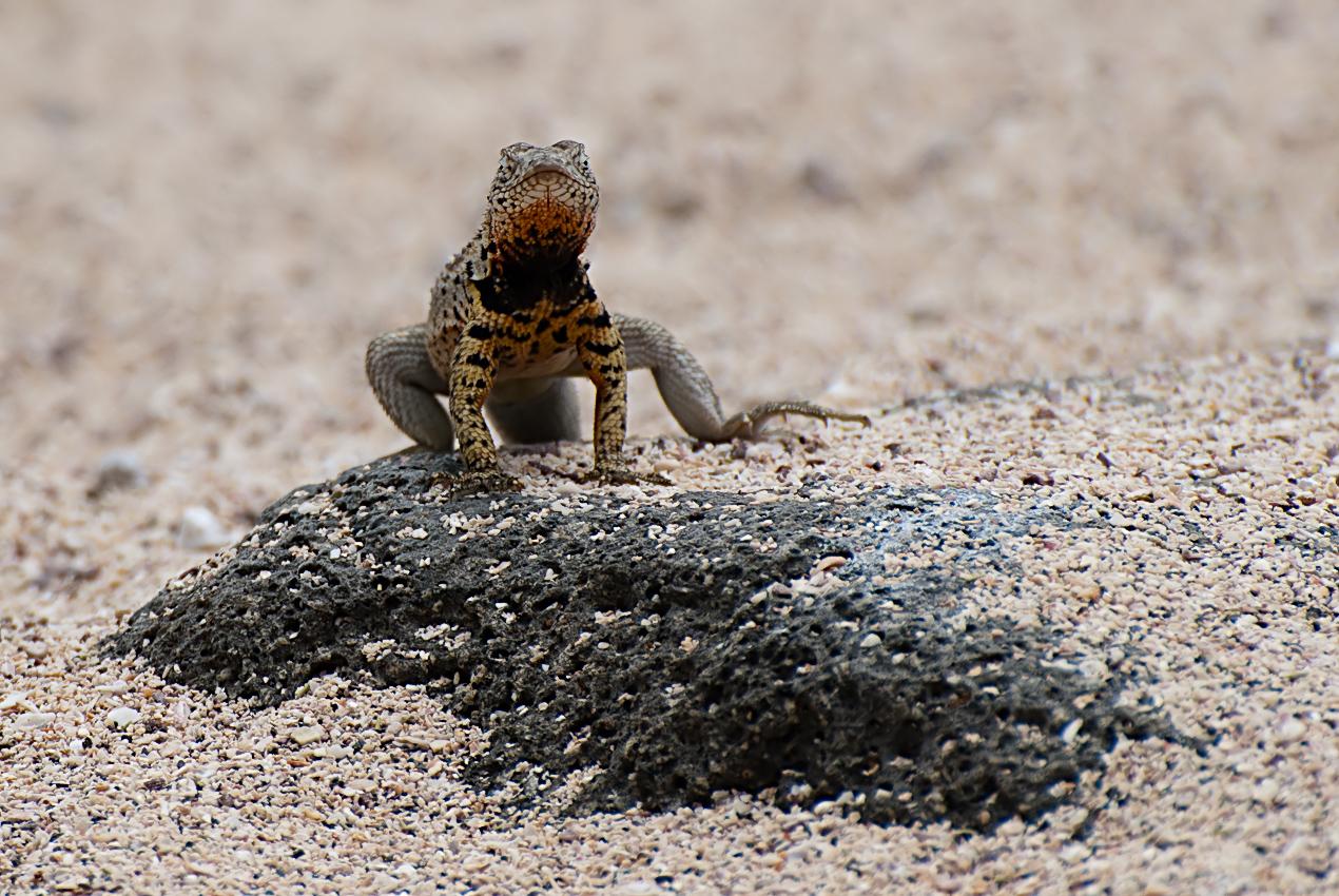 Lava lizard (Microlophus spp.)