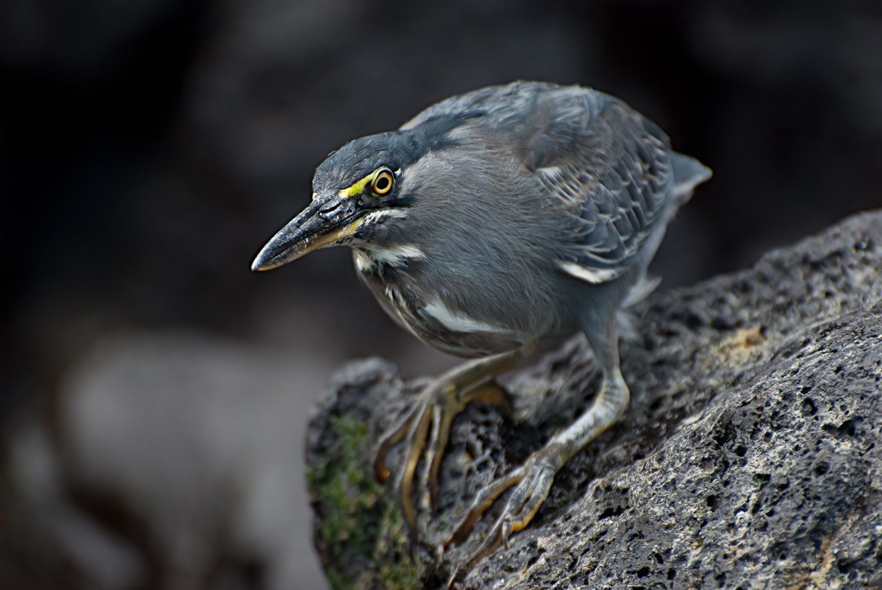 Striated heron (Butorides striata)