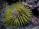 Grön sjöborre (Lytechinus semituberculatus)