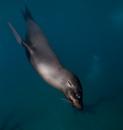 Galapagossjölejon (Zalophus wollebaeki)