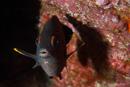 Galapagosfrökenfisk (Stegastes beebei)