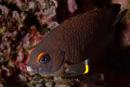 Galapagos ringtail damselfish (Stegastes beebei)