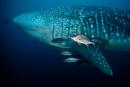 Whale shark (Rhincodon typus) with Almaco jack (Seriola rivoliana)