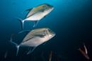 Svart jackfisk (Caranx lugubris)