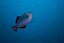 Svart tryckarfisk (Melichthys niger)