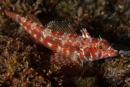 Galapagos triplefin blenny (Lepidonectes corallicola)