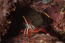 Yellow snout red shrimp (Rhynchocinetes typus)