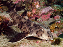 Galapagos tjurhuvudhaj (Heterodontus quooyi)