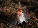 """""""Busig"""" hökfisk (Cirrhitichthys oxycephalus)"""