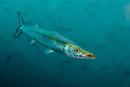 Pelican barracuda (Sphyraena idiastes)