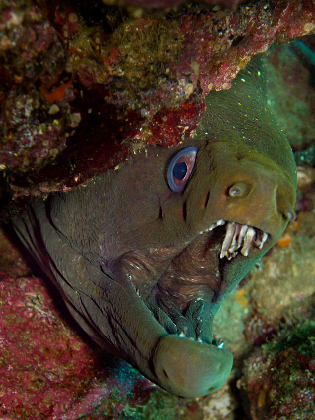 Panamic Green Moray (Gymnothorax castaneus)