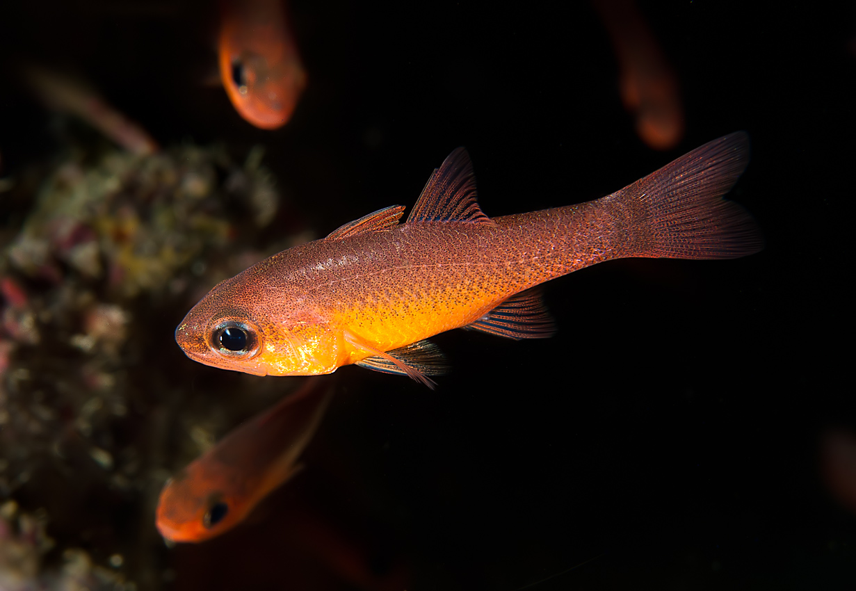Blacktip cardinalfish (Apogon atradorsatus)