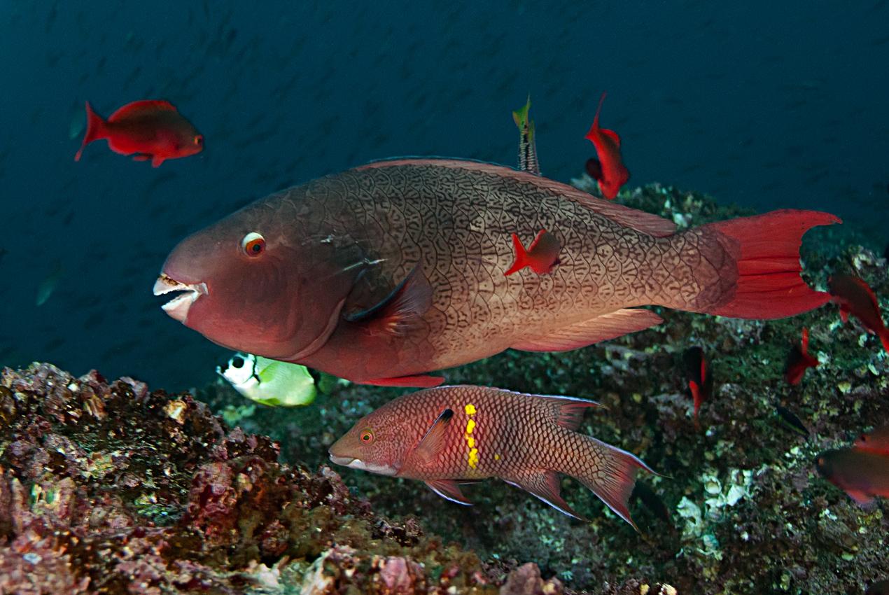 Bicolor parrotfish (Scarus rubroviolaceus) with Mexican hogfish (Bodianus diplotaenia)