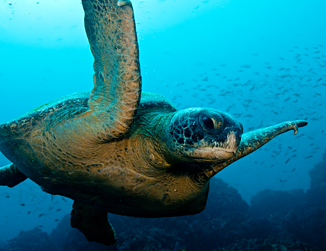 Galapagos green turtle (Chelonia mydas agassisi)