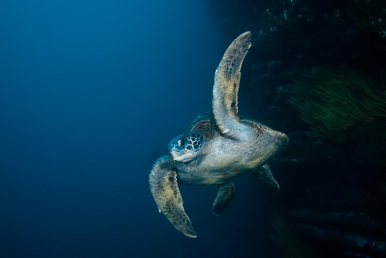 Galapagos green turtle (Chelonia mydas agassisi)