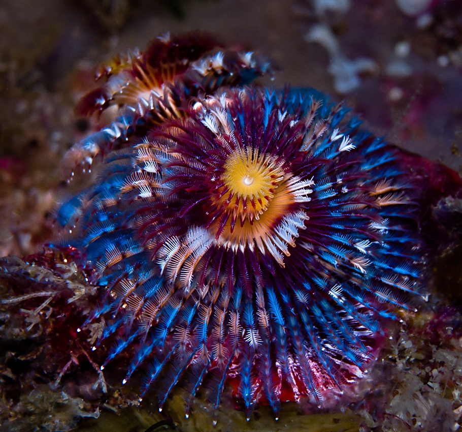Christmas Tree Worm (Spirobranchus sp)