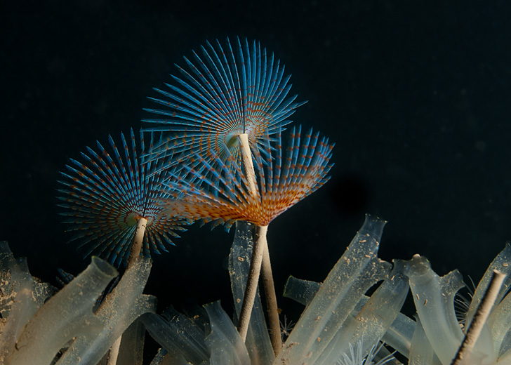 Peacock tube worm