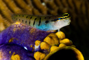 Clown blenny (Ecsenius axelrodi)