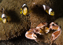 Anemone porcelain crab (Neopetrolisthes maculatus) with young Clark's anemonefish