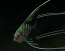Threadfin Trevally (Alectis indica)