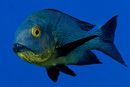Midnight snapper (Macolor macularis)