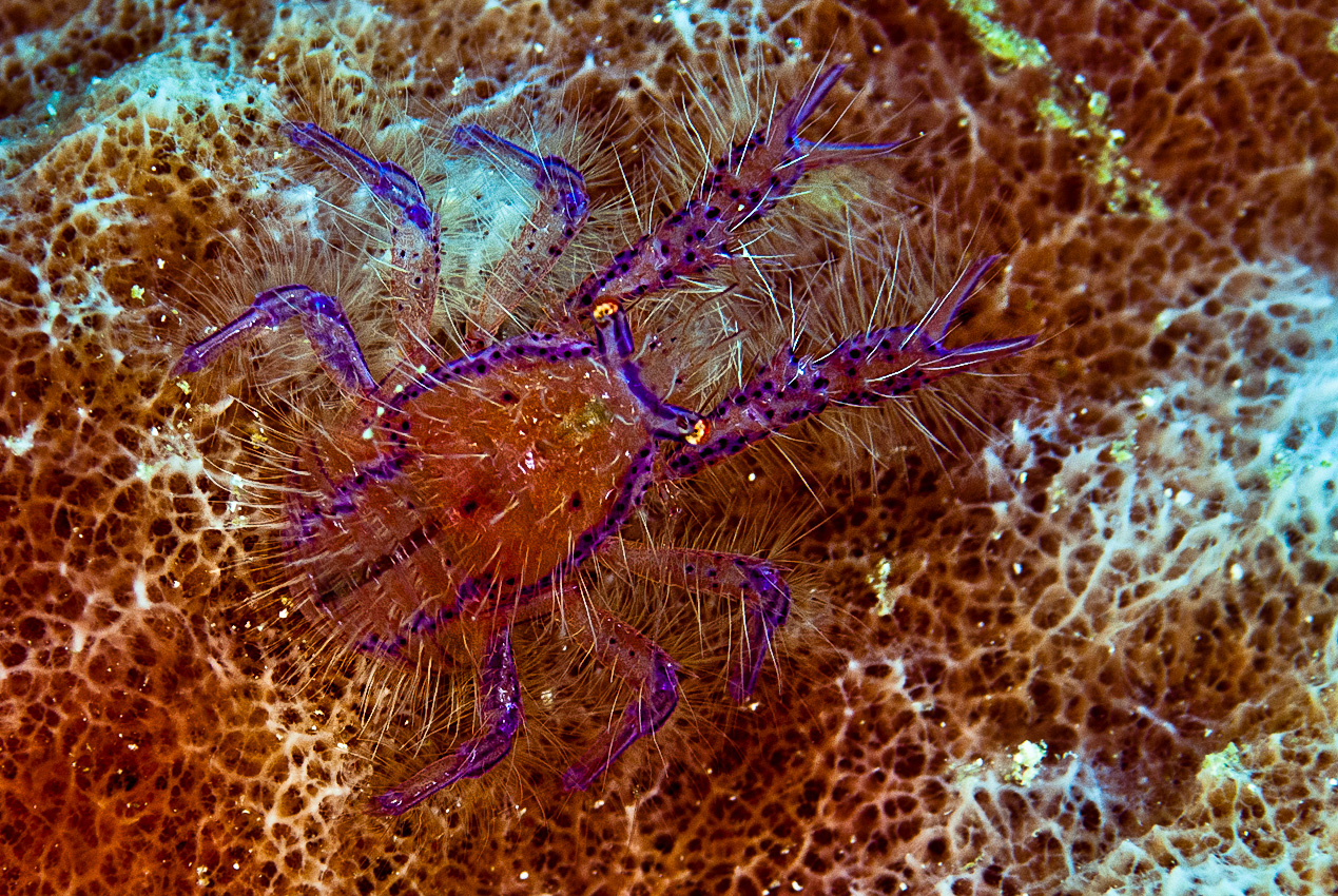 Wally's squat lobster (Lauriea siagiani)