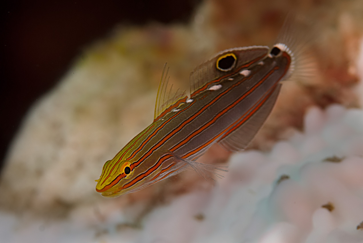 Rainford's goby (Amblygobius rainfordi)