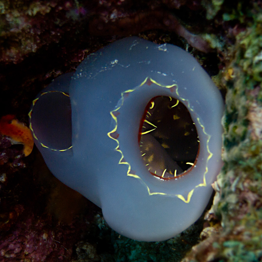 Sea squirt (Herdmania sp)