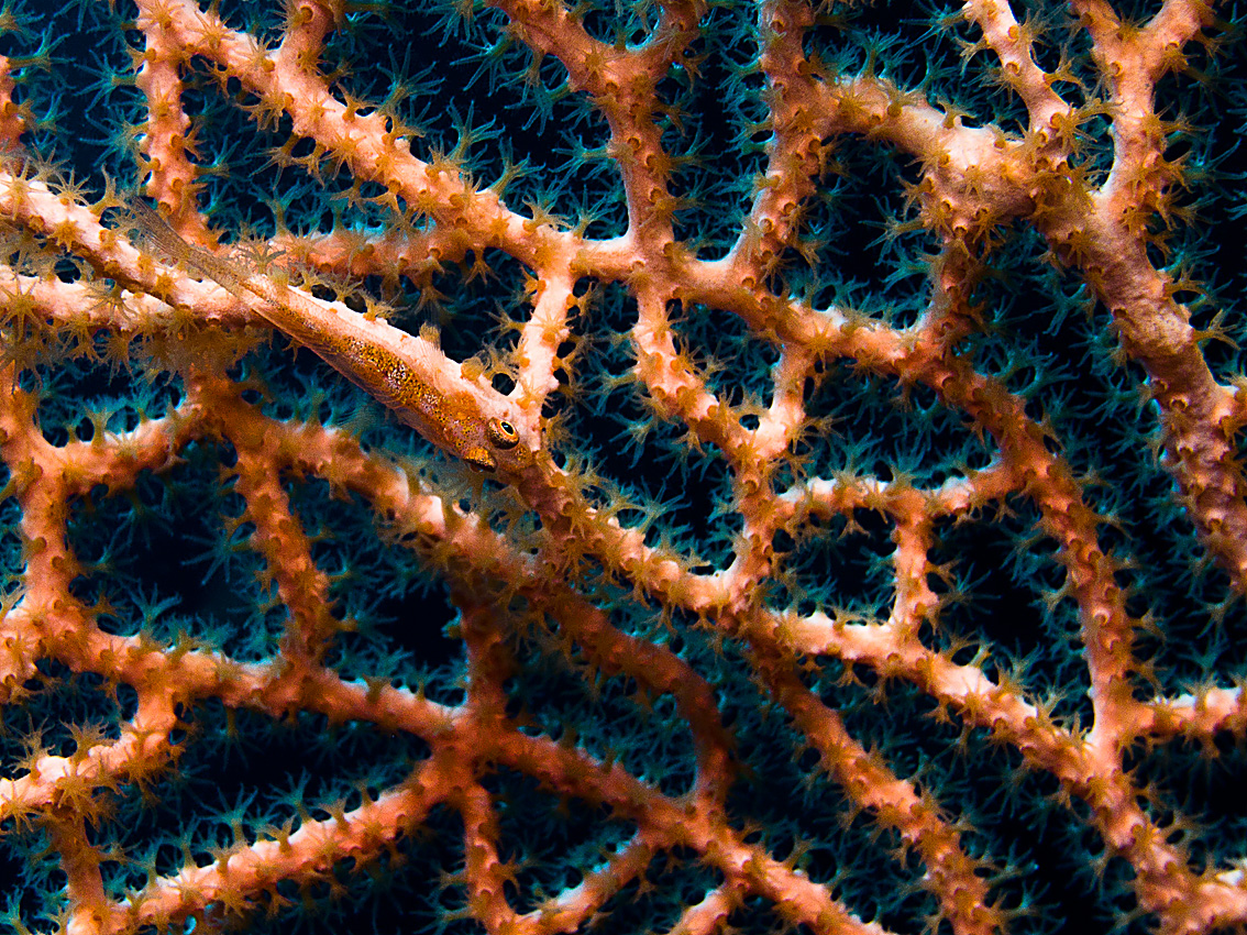Camouflaged goby in fan coral