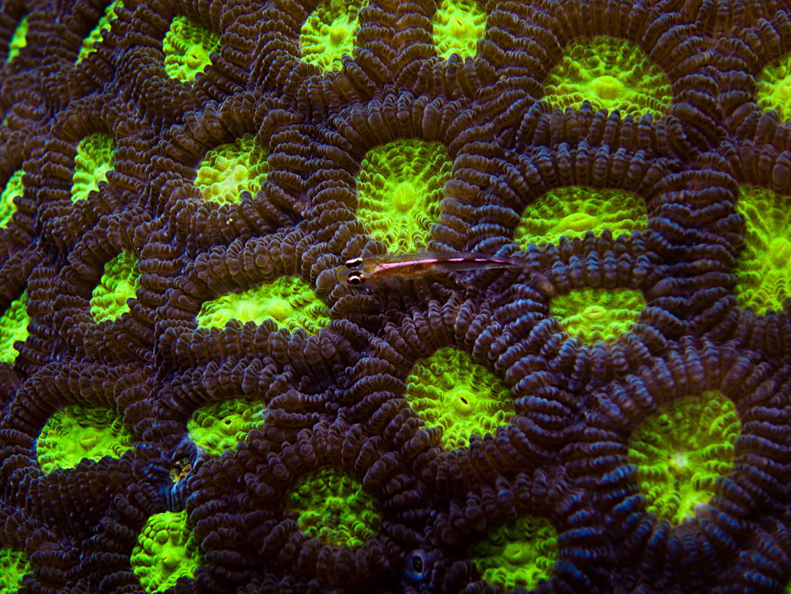 Coral with tiny goby