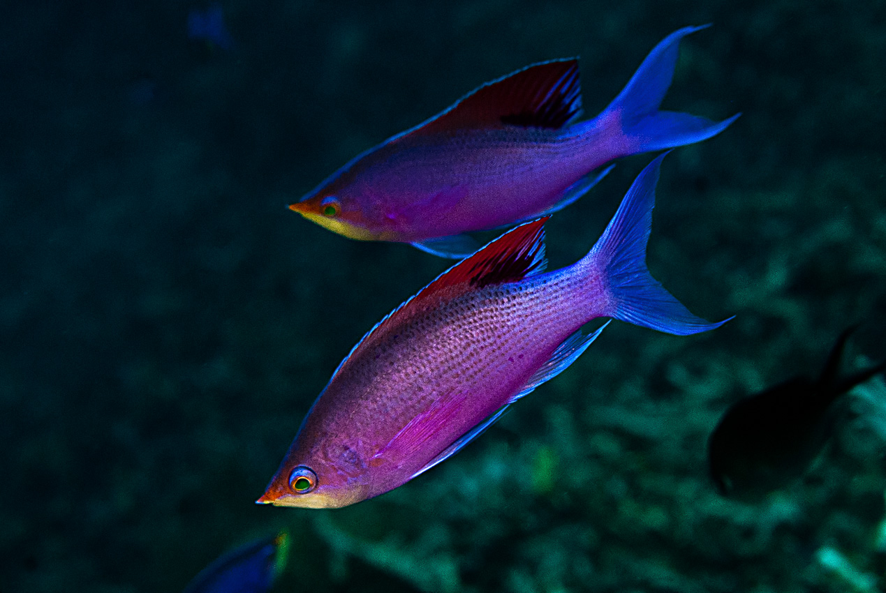 Yellowstriped anthias (Pseudanthias tuka)