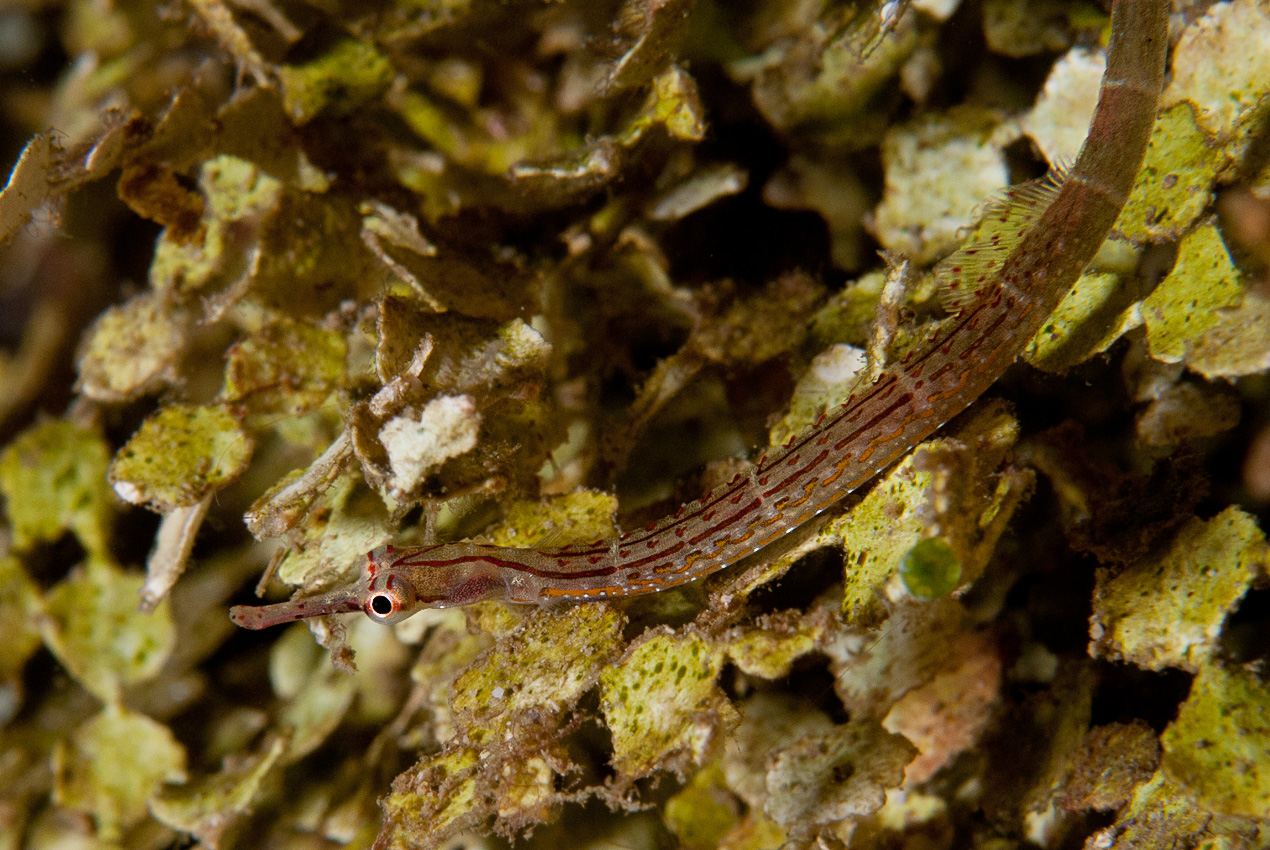 An unidendified pygmy pipefish (Corythoichthys sp)