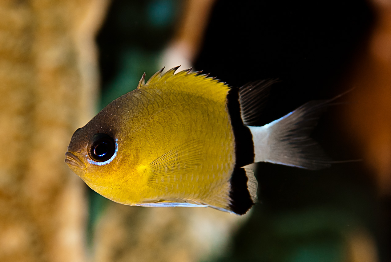 Black-bar chromis (Chromis retrofasciata)