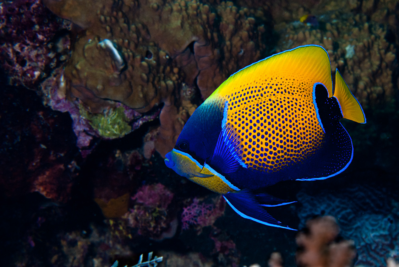 Blue-girdled angelfish (Pomacanthus xanthometopon)