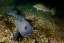 The tame wolffish Stephanie (Anarhichas lupus)