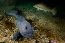 Den tama havskatten Stephanie (Anarhichas lupus)
