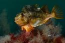 Lumpfish (Cyclopterus lumpus)