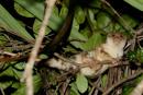 Spotted cuscus (Spilocuscus maculatus)
