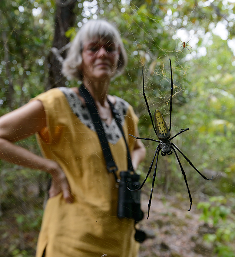 Golden orb weaver (Nephila sp)