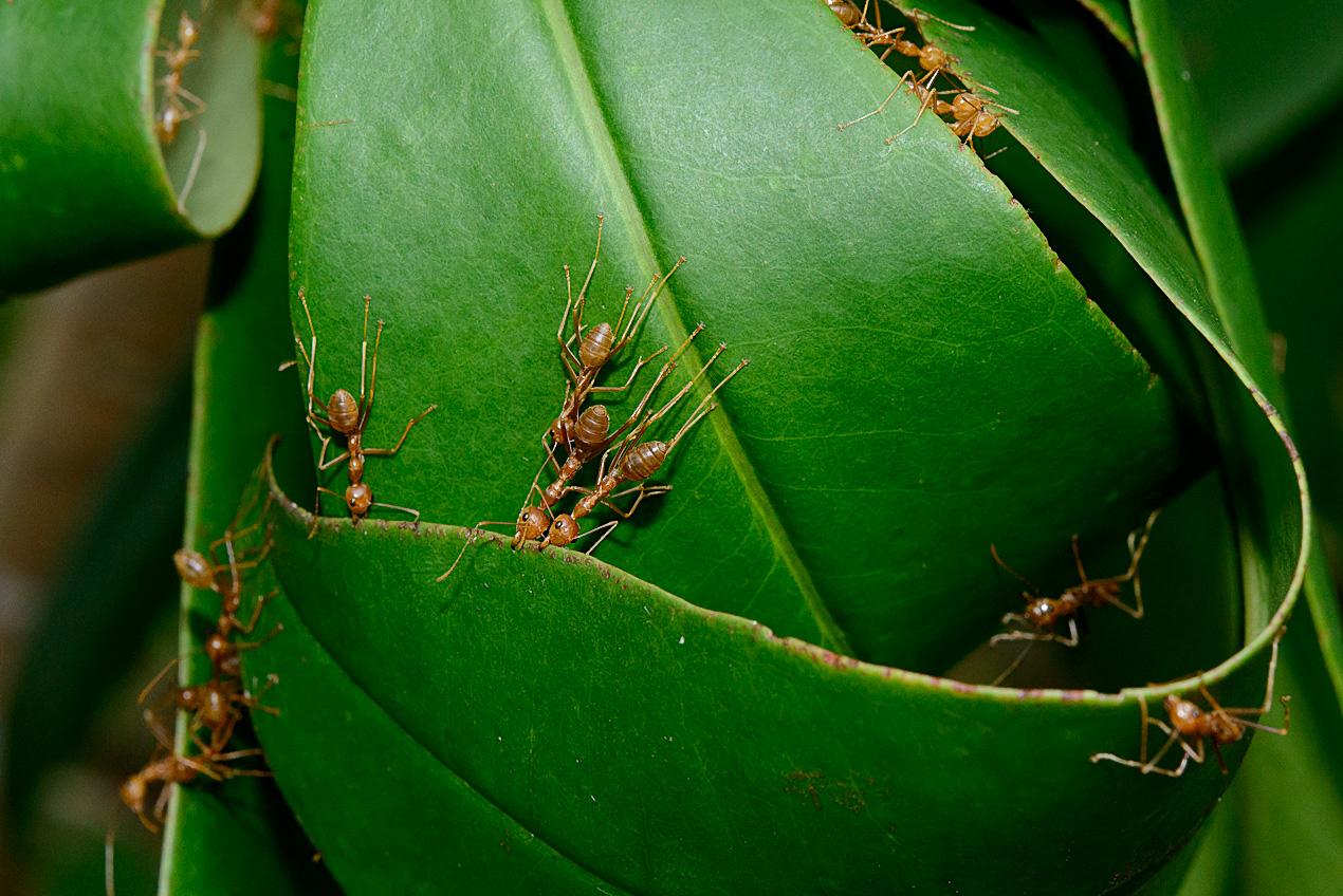 Weaver ants (Oecophylla smaragdina)