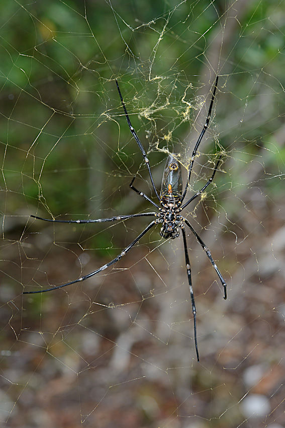 Golden orb spider (Nephila sp), notice the very small male at the center of her body