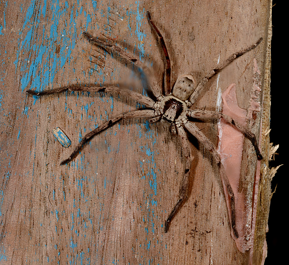 unidentified huntsman spider (Heteropoda sp)