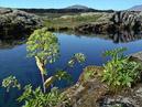 Kvanne (Angelica archangelica) vid Silfra